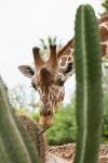 giraffe8860az.jpg