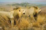 lions72dpi.jpg